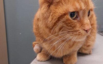 Diabete mellito di tipo 2: molto frequente nei gatti sovrappeso